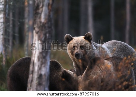 Brown bear with cubs - stock photo