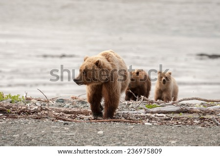 Brown bear with cubs following her on the beach - stock photo