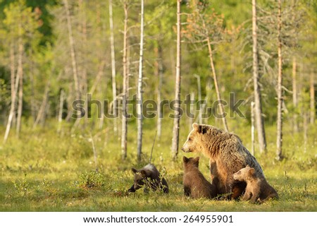 Brown bear with cubs in the bog - stock photo