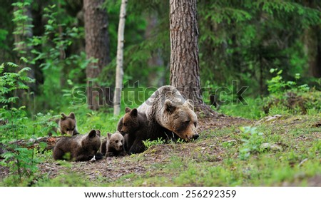 Brown bear with cubs resting in the forest - stock photo