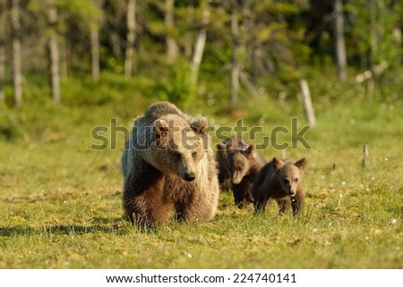 Brown bear with cubs walking in the bog - stock photo
