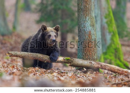 brown bear with dry trunk - stock photo