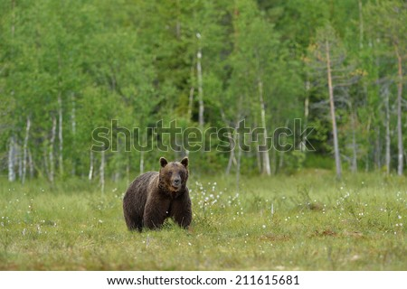 Brown bear with forest background - stock photo