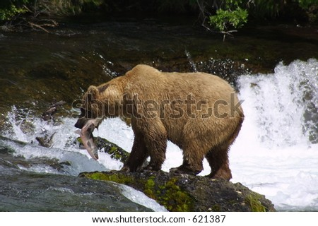 Brown Bear with Salmon on Rock - stock photo