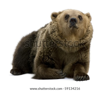Brown Bear, 8 years old, lying in front of white background - stock photo