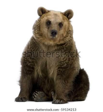 Brown Bear, 8 years old, sitting in front of white background - stock photo
