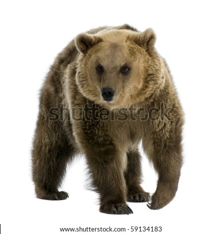 Brown Bear, 8 years old, walking in front of white background - stock photo