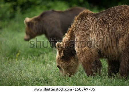 Brown bears eating couple of bears - stock photo