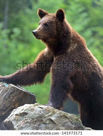 Brown bears in the Carpathians. Ukraine.