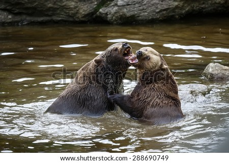 brown bears in the water - stock photo
