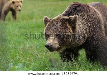 Brown bears in the woods - stock photo