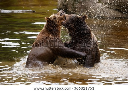 brown bears is fighting in the river