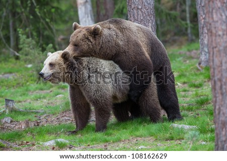 Brown bears mating in Finnish Tiaga forests - stock photo
