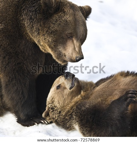 Brown Bears (Ursus arctos) in the Bayerischer Wald National Park, Bayern, Germany
