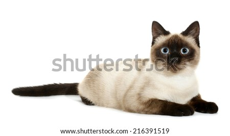 Brown beige cat with blue eyes lies down - stock photo