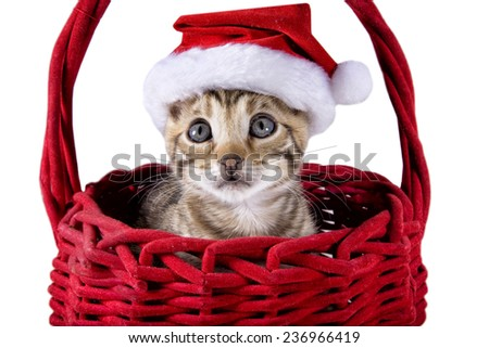 Brown Bengal kitten with red velvet Santa hat on inside red velvet basket isolated on white - stock photo