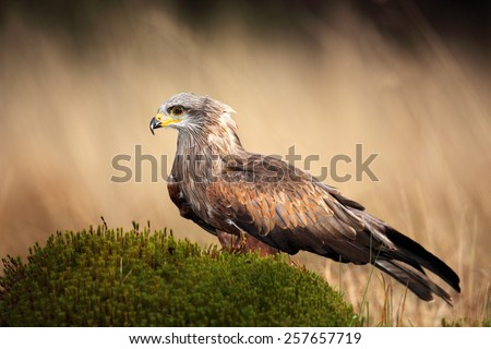 Brown bird of prey black kite, Milvus migrans, on moss hillock in march - stock photo