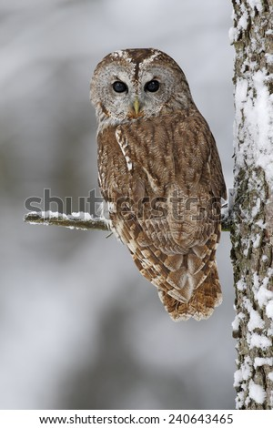 Brown bird Tawny owl sitting on tree trunk with snow during cold winter - stock photo