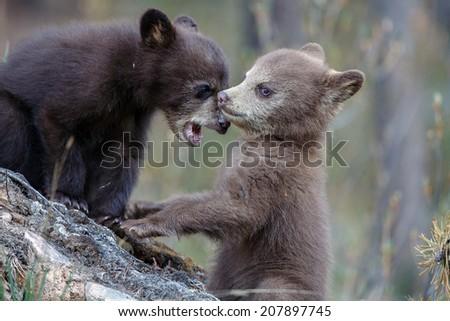Brown black bear cubs playing - stock photo