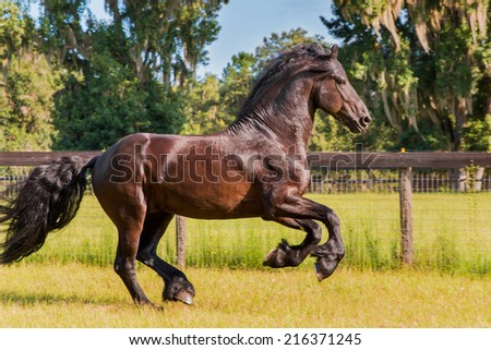 Brown black frisian / friesian horse galloping cantering running slowly in a field meadow paddock pasture looking graceful elegant handsome  - stock photo