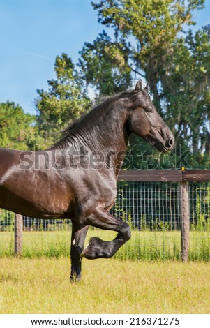 Brown black frisian / friesian horse trotting running moving doing dressage in a field meadow paddock pasture looking elegant graceful - stock photo