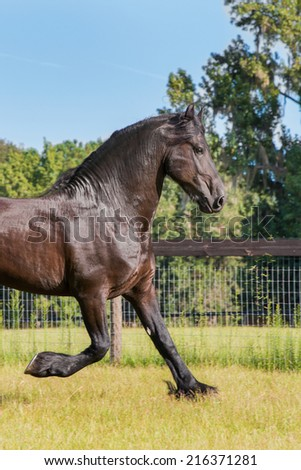 Brown black frisian / friesian horse trotting running moving slowly doing dressage in a field meadow paddock pasture looking graceful elegant beautiful handsome dashing dapper - stock photo