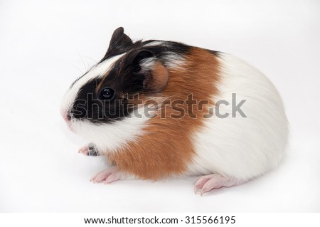 BROWN BLACK WHITE GUINEA PIG BABY.