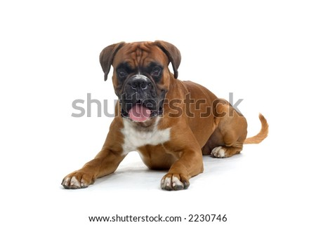 brown boxer laying on the ground