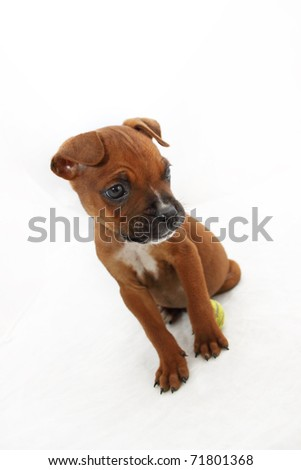 Brown Boxer puppy with white chest staring - stock photo