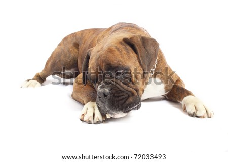 Brown Boxer with white chest eating grub - stock photo