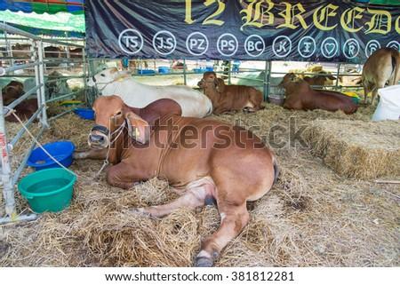 Brown brahman in cage,korat,thailand - stock photo