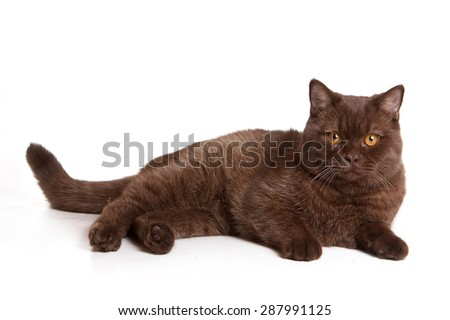 Brown british cat lies and looks at the camera (isolated on white) - stock photo