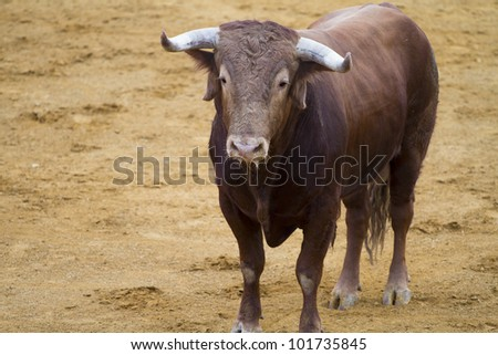 Brown bull in the spanish bullfighting arena - stock photo