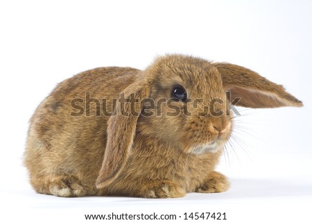 brown bunny, isolated on white background - stock photo