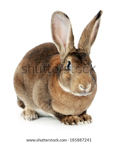 Brown bunny on white background  - stock photo