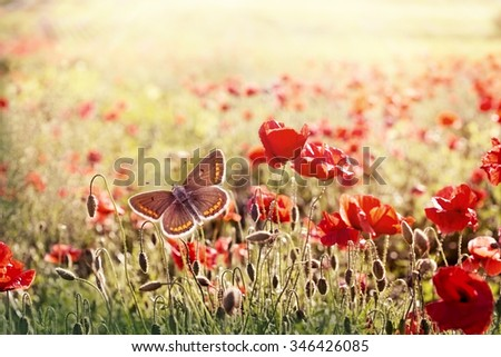 Brown butterfly in meadow of poppy flowers - beautiful nature - stock photo