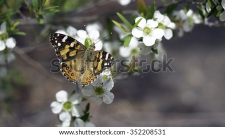 Brown Butterfly on White Flowers - stock photo