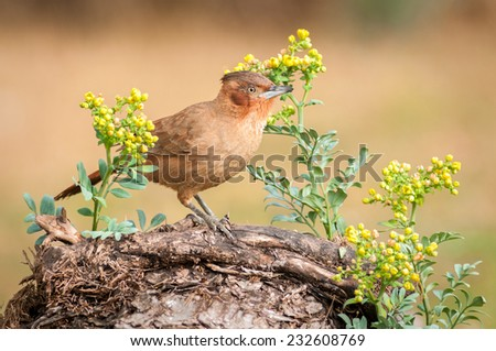 Brown Cacholote (Pseudoseisura lophotes) perched on a dead log, surrounded by unidentified flowers. Patagonia, Argentina, South America. - stock photo