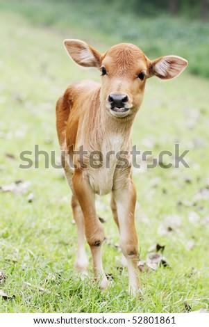 brown calf - stock photo