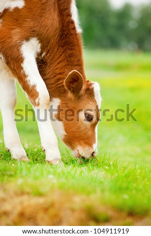 Brown calf eats grass - stock photo