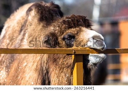 Brown camel in zoo