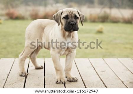 Brown cane corso dog puppy - stock photo