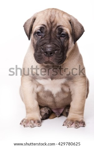 Brown Cane Corso puppy dog (isolated on white) - stock photo