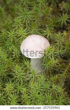 Brown cap boletus (Leccinum scabrum mushroom) in the green moss  - stock photo