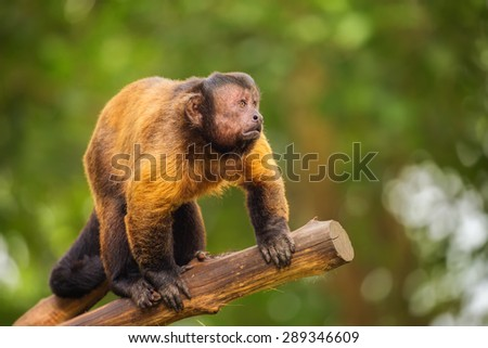 Brown capuchin monkey among the trees, Singapore Zoo - stock photo