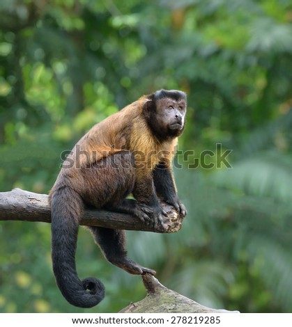 Brown capuchin monkey sits on a tree in rainforest