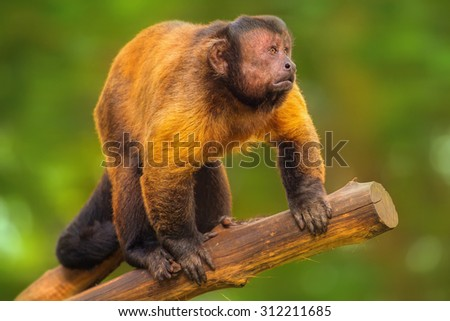 Brown capuchin monkey sitting among the trees. - stock photo