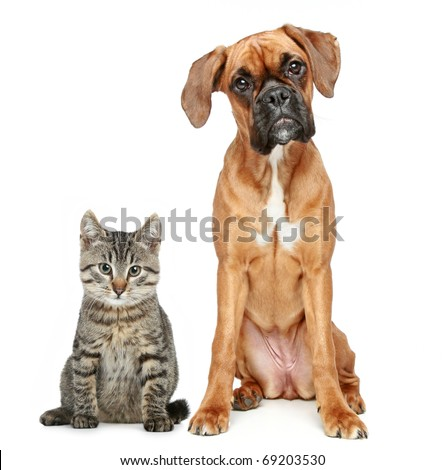 Brown cat and dog Boxer breed on a white background - stock photo
