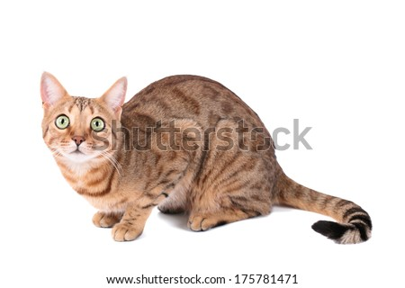 Brown cat breed Bengal (leopard cat - Prionailurus bengalensis), isolated on white background - stock photo