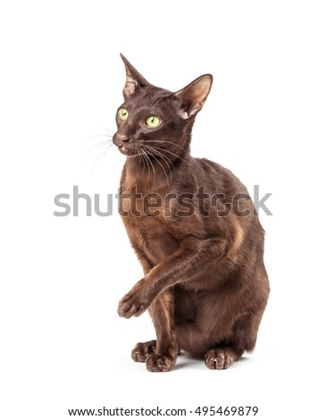 brown cat isolated on white background